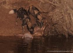 wild-dog-wild-dogs-2752-copyright-photographers-on-safari-com
