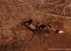 wild-dog-wild-dogs-2754-copyright-photographers-on-safari-com
