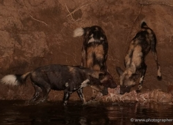 wild-dog-wild-dogs-2755-copyright-photographers-on-safari-com
