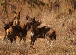 wild-dog-wild-dogs-2761-copyright-photographers-on-safari-com