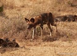 wild-dog-wild-dogs-2763-copyright-photographers-on-safari-com