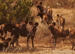 wild-dog-wild-dogs-2764-copyright-photographers-on-safari-com