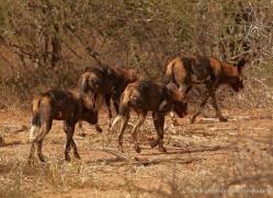 wild-dog-wild-dogs-2769-copyright-photographers-on-safari-com