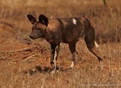 wild-dog-wild-dogs-2778-copyright-photographers-on-safari-com