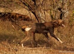 wild-dog-wild-dogs-2784-copyright-photographers-on-safari-com