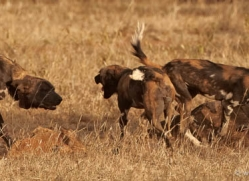 wild-dog-wild-dogs-2785-copyright-photographers-on-safari-com