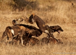 wild-dog-wild-dogs-2787-copyright-photographers-on-safari-com