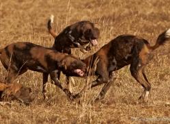 wild-dog-wild-dogs-2791-copyright-photographers-on-safari-com