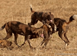 wild-dog-wild-dogs-2792-copyright-photographers-on-safari-com