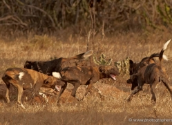 wild-dog-wild-dogs-2794-copyright-photographers-on-safari-com