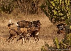 wild-dog-wild-dogs-2795-copyright-photographers-on-safari-com
