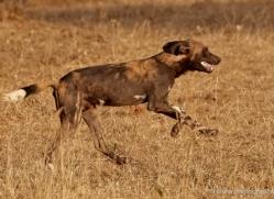 wild-dog-wild-dogs-2798-copyright-photographers-on-safari-com