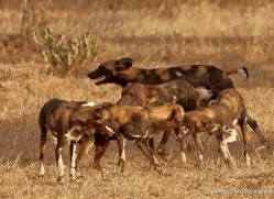 wild-dog-wild-dogs-2799-copyright-photographers-on-safari-com