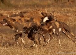 wild-dog-wild-dogs-2800-copyright-photographers-on-safari-com