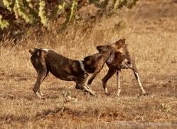 wild-dog-wild-dogs-2801-copyright-photographers-on-safari-com