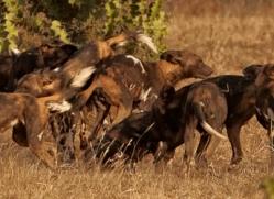 wild-dog-wild-dogs-2802-copyright-photographers-on-safari-com