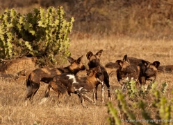 wild-dog-wild-dogs-2808-copyright-photographers-on-safari-com