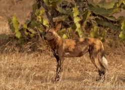 wild-dog-wild-dogs-2809-copyright-photographers-on-safari-com
