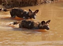 wild-dog-wild-dogs-2815-copyright-photographers-on-safari-com