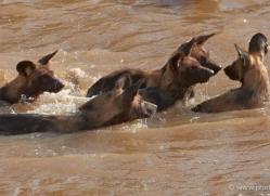 wild-dog-wild-dogs-2816-copyright-photographers-on-safari-com