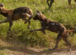 wild-dog-wild-dogs-2818-copyright-photographers-on-safari-com