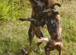 wild-dog-wild-dogs-2821-copyright-photographers-on-safari-com