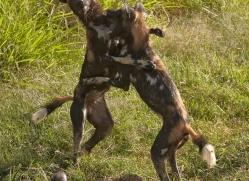 wild-dog-wild-dogs-2822-copyright-photographers-on-safari-com