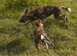 wild-dog-wild-dogs-2824-copyright-photographers-on-safari-com