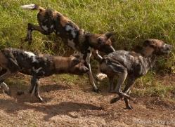 wild-dog-wild-dogs-2826-copyright-photographers-on-safari-com