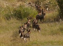 wild-dog-wild-dogs-2828-copyright-photographers-on-safari-com