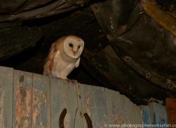 Barn-Owl-copyright-photographers-on-safari-com-6001