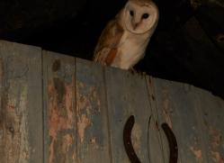 Barn-Owl-copyright-photographers-on-safari-com-6003