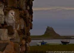 Barn-Owl-copyright-photographers-on-safari-com-6007