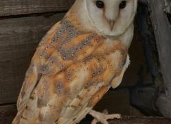 Barn-Owl-copyright-photographers-on-safari-com-6012