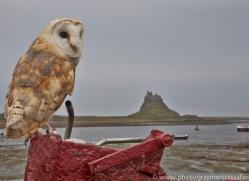 Barn-Owl-copyright-photographers-on-safari-com-6016