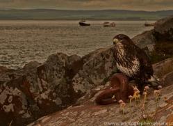 Buzzard-copyright-photographers-on-safari-com-6028