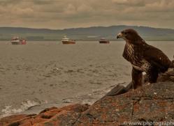 Buzzard-copyright-photographers-on-safari-com-6029