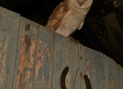 Barn-Owl-copyright-photographers-on-safari-com-6002