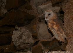 Barn-Owl-copyright-photographers-on-safari-com-6009