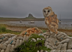 Barn-Owl-copyright-photographers-on-safari-com-6014