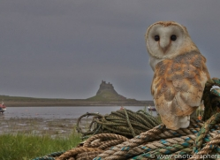 Barn-Owl-copyright-photographers-on-safari-com-6019