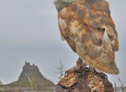Barn-Owl-copyright-photographers-on-safari-com-6025
