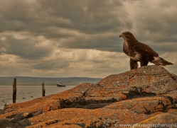 Buzzard-copyright-photographers-on-safari-com-6030