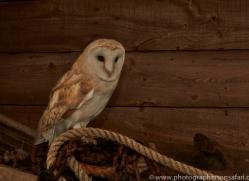 Barn-Owl-copyright-photographers-on-safari-com-6004