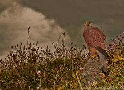 Kestrel-copyright-photographers-on-safari-com-6041