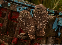 Little-Owl-copyright-photographers-on-safari-com-6043