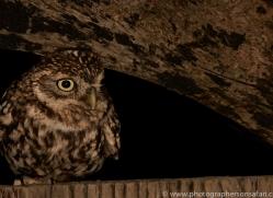 Little-Owl-copyright-photographers-on-safari-com-6047