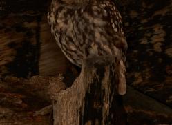 Little-Owl-copyright-photographers-on-safari-com-6048