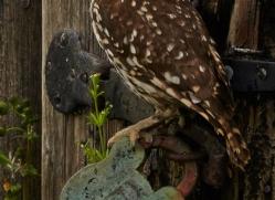 Little-Owl-copyright-photographers-on-safari-com-6049