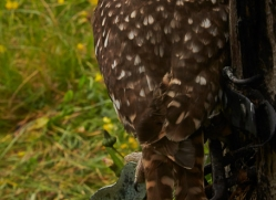 Little-Owl-copyright-photographers-on-safari-com-6050